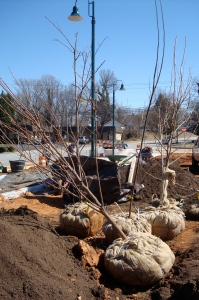 Beautiful bagged & burlapped fruit trees. Apricots, Pears, Quince, Cherry, Apple, Fig, Persimmon, Pear, Plum.