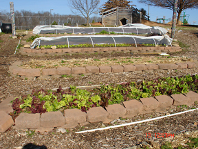 Lower Elementary_lettuce_low tunnels
